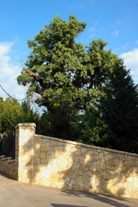 Az idős fa magánkertben áll