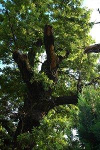 A fa lomboronájának csonkolt ágrendszere