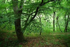 A terület nyugati oldalán még megtalálhatók az eredeti budai erdők néhány idős képviselője. A képen egy öreg bükk látható