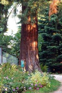 A fa mellmagasságban mért törzskörmérete 1,5 méter körül van