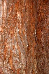 A mammutfenyő vastag kérge a fajra jellemzően puha és élénk vörösesbarna színű