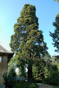 Az idős fa magassága meghaladja a 15 métert
