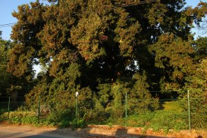 A fa kert északi részének nagy területét uralja, koronájának átmérője legalább 20 méter