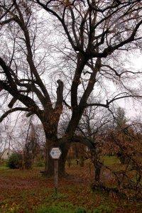 A védett hársfa tekintélyes méretű ágai legjobban télen látszódnak