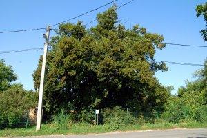 A fa kiemelkedő esztétikai értékét rontja az elé telepített villanyoszlop