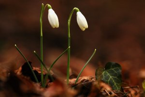 A ritkulóban lévő és emiatt újabban védettséget élvező hóvirág szép állománya él a területen