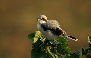 A hazánkban szórványos költőfaj kis őrgébics egyik jellegzetes fészkelőfaja a Merzse-mocsárnak