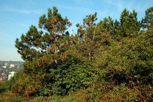 A terület egy részét tájidegen fekete fenyőkkel ültették be, melyek jelenléte természetvédelmi szempontból erősen kifogásolható