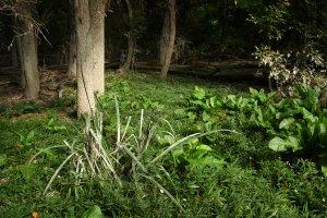 A sűrű ártéri erdő tisztásain rögtön megjelennek a jellegzetes lágyszárú növényfajok