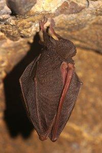 A védett kis patkósorrú denevér a hegy számtalan bányavágatának egyikében rendszeresen telel