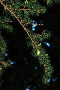 A termőkorú fa minden évben hoz termést a terület megfelelő mikroklímájának köszönhetően