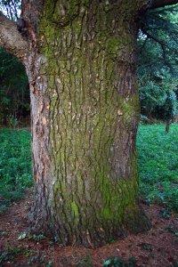 A körülbelül 130 éves cédrus törzskörmérete 2 méter körül van