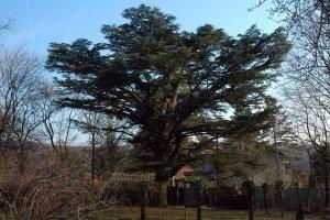 Az ország harmadik legnagyobb libanoni cédrusának koronája a fajra jellemző alakot mutatja