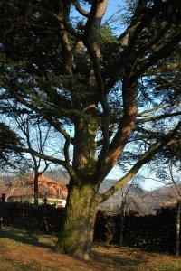 A védett fa ágrendszere sűrűn elágazik és szerencsére teljesen egészséges
