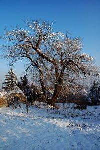 budapest egyik legtekintélyesebb méretekkel rendelkező fája a képen látható XII. kerületi eperfa