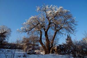 A hatalmas fa egy lakatlan telken, magányosan áll