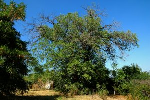 Az eperfa egyes ágai már elhaltak, ennek ellenére még elég jó egészségi állapota van