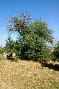 A fa környezetét rendszeresen kaszálják