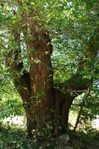 Az eperfa törzse körülbelül két méteres magasságban három hatalmas ágra válik szét