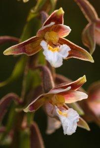 Védett orchideánk, a mocsári nőszőfű is előfordul a területen. Állománya jelentős, a 2007-es számlálás idején 239 tő került elő a gyepekről