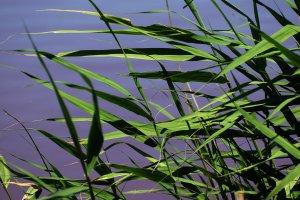 A Mocsáros jellegzetes növénye a nagy foltokat alkotó nád