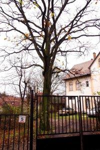 A több, mint 70 éves tölgyfa egy II. kerületi magánkertben áll Hűvösvölgy határában