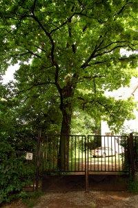 Az elsősorban sporttörténetileg jelentős védett fa egészséges és szépen növekedik