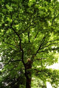 A fa tekintélyes méretű koronával rendelkezik