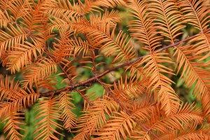 A légzőgyökereiről ismert mocsárciprus őszre barnává váló hajtásrészlete. A fafaj télen lehullajtja tűleveleit