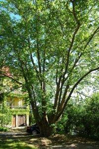 A hatalmas méretű platánfa szinte az egész kertet beárnyékolja