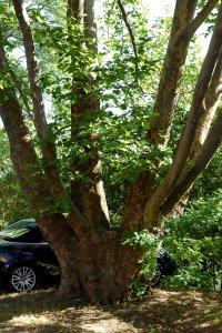 A védett fa törzse alacsonyan 7 hatalmas ágra válik szét