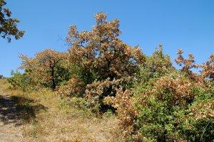 A nagy nyári aszályok esetében a kitett éghajlatnak köszönhetően előfordul, hogy a fák idő előtt veszítik el lombjukat