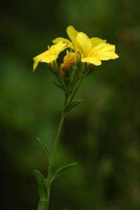 A hegy dolomitsziklagyepjeinek egyik értékes faja a védett sárga len