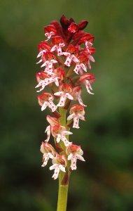 Budapesten egyedül itt él hazánk legkisebb virágú orchideája, a sömörös kosbor