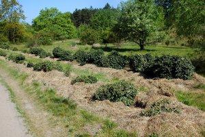 A kert tekintélyes méretű borostyán fajtagyűjteménye