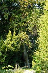Az idős bükkfa tekintélyes körméretű törzse