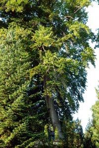 A fa minden környező fásszárú fölé tornyosul 30 métert közelítő magasságával