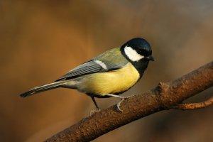 A terület egyik leggyakoribb védett madara a széncinege