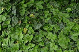Az erdőterület aljnövényzetében igen elterjedt a borostyán (Hedera helix)