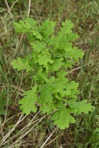 A tó melletti erdő legértékesebb foltjait a kocsányos tölgyek (Quercus robur) adják