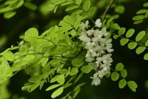 A tájidegen fehér akác (Robinia pseudoacacia) a védett terület DK-i szegélyében a legelterjedtebb