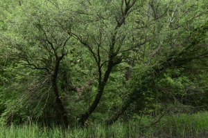 A Szilas-patak védett területhez csatlakozó szakasza mentén sok helyen koros fűzek kísérik az ösvényeket