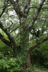 A Szilas-patak közelében hatalmas rezgő nyarak (Populus tremula) nőnek