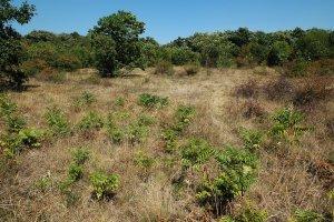 Egyes helyeken sajnos az agresszíven terjeszkedő, tájidegen bálványfa is jelen van, mely kiszorítja maga mellől az értékes növényfajokat