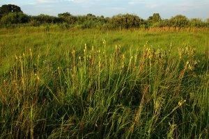 A lápréten nyár derekán tömegesen látható a védett szibériai nőszirom sárgás toktermése